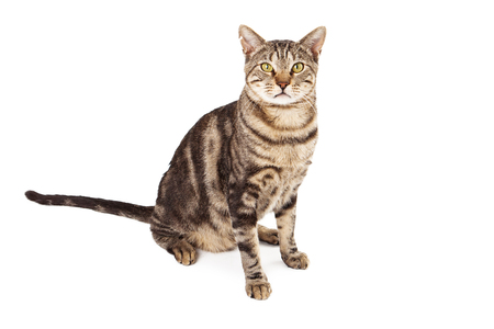 identifies: A feral cat that has a marking called eartipping which identifies a sterilized and vaccinated cat in a managed colony
