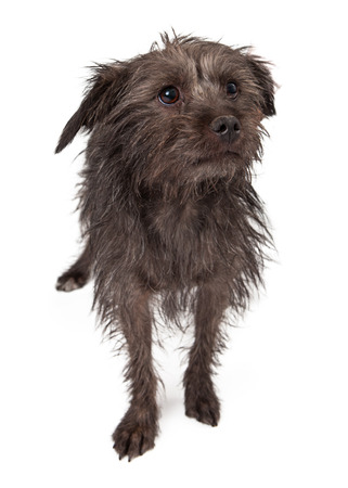timid: A timid little terrier mixed breed dog with a black coat