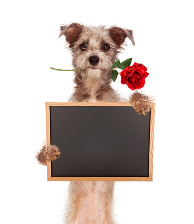 귀여운 초라한 테리어 혼합 된 품종 개는 빨간색이 그의 입에 장미를 찾아 빈 칠판 기호를 들고 서. 분필 글꼴을 사용하여 당신의 자신의 메시지를 입 스톡 콘텐츠