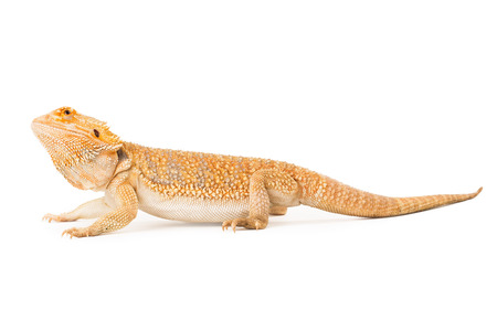bearded dragon lizard: Side view of a bearded dragon on white Stock Photo