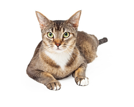 laying forward: Beautiful tricolered cat laying with partially white paws outstretched looking forward