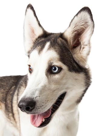 brown  eyed: Blue and brown eyed husky dog profile looking off to the side