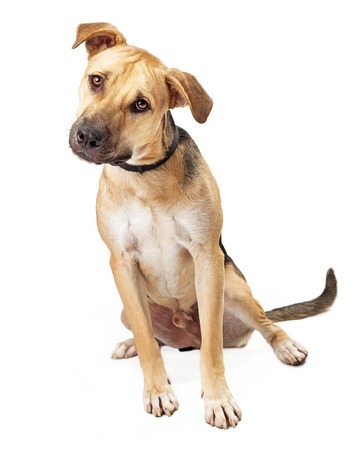 big dog: A cute Boxer Mix Puppy Sitting and Looking Curiouly at the camera Stock Photo