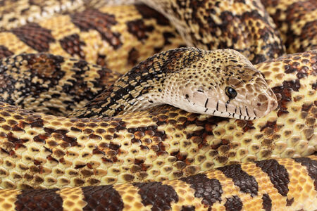 coiled: A full view of a coiled up large Bullsnake Stock Photo