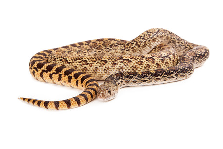 coiled: A cropped view of a coiled up Bullsnake with white copyspace room for text