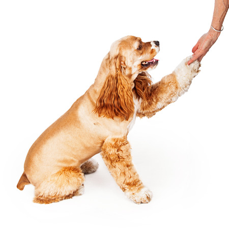 Side view of a pretty American Cocker Spaniel dog extending her paw to shake hands photo
