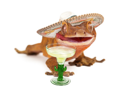 margarita glass: A funny crested gecko wearing a Mexican sombrero with a margarita glass in front of him