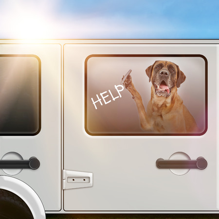 A Mastiff dog locked in a car on a hot summer day by an irresponsible pet owner writing HELP on the window with a marker