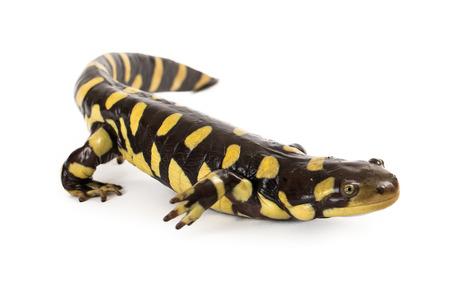 salamandra: Un negro y amarillo manchado oriental Tiger Salamander aislado en un fondo blanco