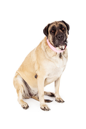 cane collars: A large adult female English Mastiff dog wearing a pink collar and sitting against a white backdrop