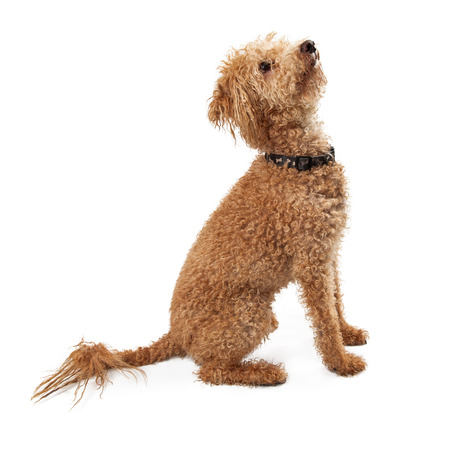large dog: A large breed dog with mixed breeds of Poodle, Golden Retriever, and Labrador