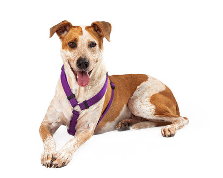 red heeler: dog against a white backdrop Stock Photo