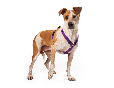 Gold and white mixed breed dog with purple harness standing with one paw lifted slightly