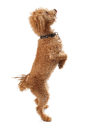 A golden color Labordoodle mixed breed dog standing on his hind legs begging Stock Photo