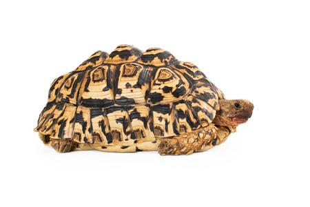 흰색 배경에 고립 된 레오 파 드 거북이의 측면보기