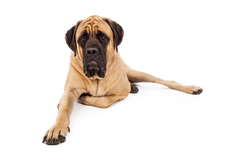 A large English Mastiff dog laying down on a white backdrop with one leg tucked underneath him Stock Photo