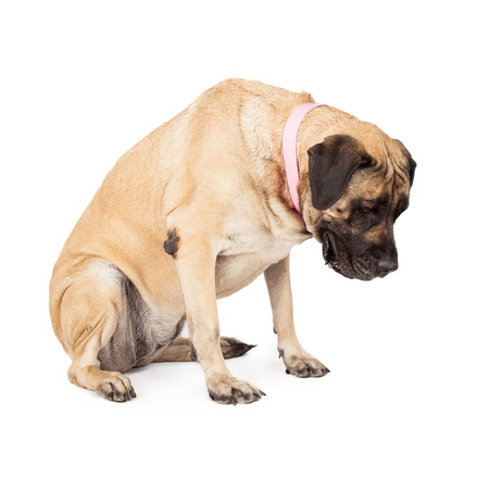big dog: A large Mastiff dog sitting and looking down. Place your product on the floor as if she is looing at it.  Stock Photo
