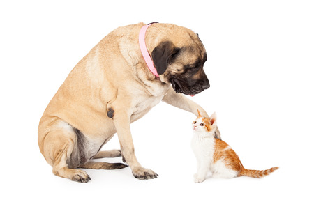 A large Mastiff dog extending her paw out to to play with a little kitten and looking down at it.