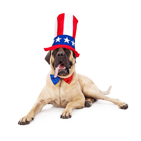 A cute large Mastiff dog laying against a white backdrop with his tongue hanging out and wearing a sparkly red, white and blue bow tie and a festive tall hat for the Fourth of July photo