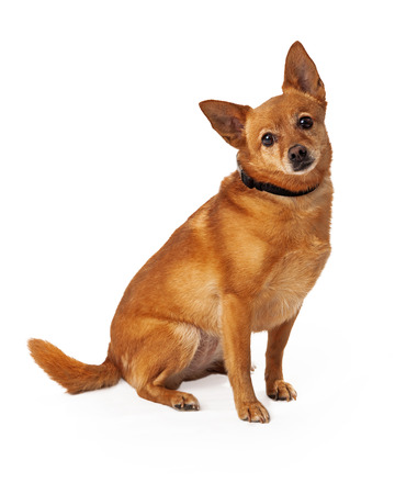 lapdog: A medium size young Chihuahua mixed breed golden color dog sitting with a sad expression on his face