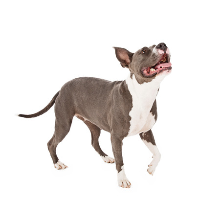 Pit Bull dog with one paw up as he is walking and looking up photo
