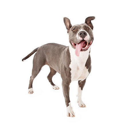 A young gray Pit Bull dog with a funny expression and his tongue hanging out