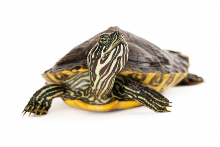 cooter: A cute River Cooter Turtle crawling on a white background with selective focus on his face Stock Photo
