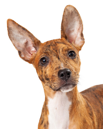 red heeler: A close-up photo of a young and cute Australian Cattle dog mix looking into the camera Stock Photo