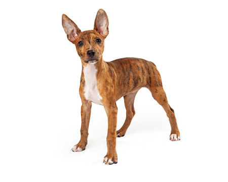 red heeler: Standing young Australian Cattle Dog mix facing the camera, whole body image Stock Photo