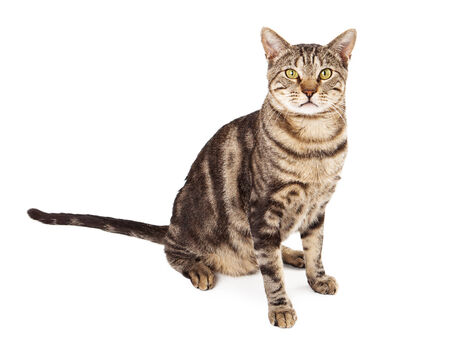 sit: An adult tabby cat sitting against a white background and looking forward at the camera Stock Photo