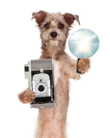 funny animal: A cute mixed terrier breed dog standing on his hind legs while holding a vintage camera and flash unit