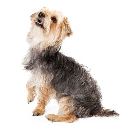 yorky: Side view of a cute and happy young Yorkshire Terrier dog sitting and looking up