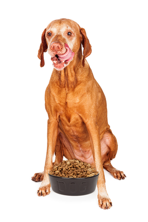 kibble: A hungry Vizsla breed dog sitting and licking lips with her tongue out and a heaping bowl of dry kibble dog food in front of her