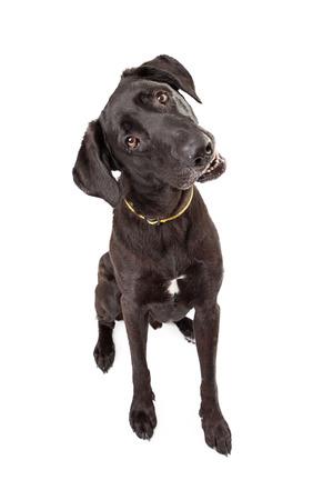 tilting: An adorable young Labrador Retriever dog with a black coat looking forward and tilting his head