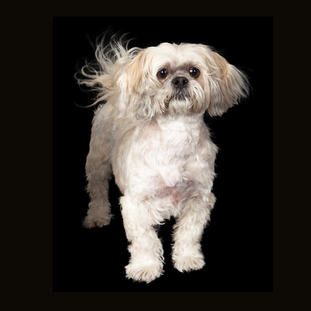 lapdog: A cute young Lhasa Apso breed dog standing against a black background Stock Photo