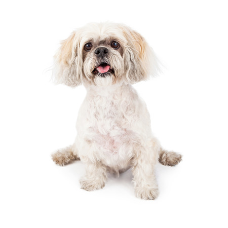 A cute little white Lhasa Apso breed dog sitting on a white background photo