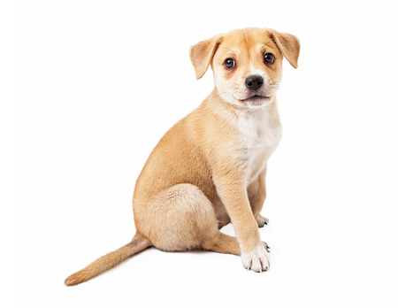 labrador puppy: A cute mixed Shepherd and Labrador mixed breed puppy sitting to the side Stock Photo