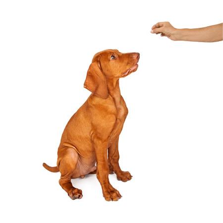 sit down: Una persona que agujerea un regalo en su mano mientras que el entrenamiento de un perro joven de raza Vizsla sentarse y permanecer
