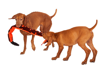 tug: An adult and a puppy Vizsla breed dogs playing tug-o-war with a long snake stuffed toy