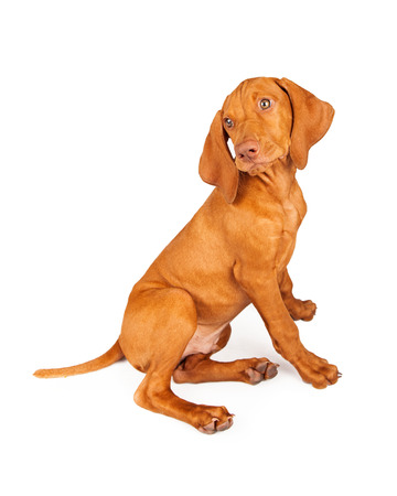 pointer dog: Side view of a Vizsla breed puppy sitting and looking back