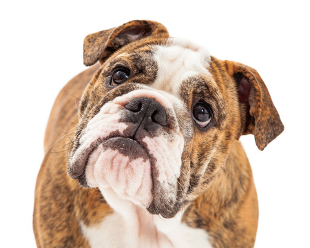 stocky: Closeup photo of an English Bulldog with an attentive expression Stock Photo
