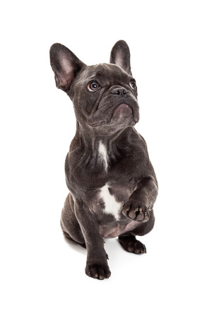 A cute little blue color  French Bulldog sitting with a paw raised up to wave or shake 版權商用圖片