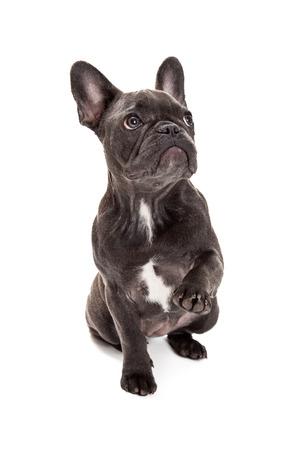 Een leuke kleine blauwe kleur Franse Bulldog zitten met een poot opgewekt te zwaaien of schudden