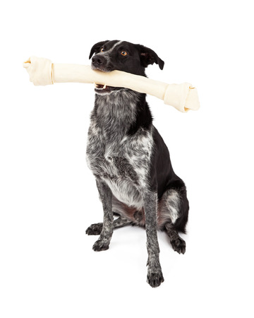 A cute black and grey color Border Collie dog sitting and carrying a large rawhide bone photo