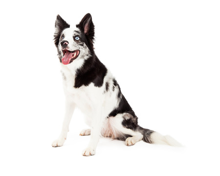 spotted fur: A Border Collie with black and white spotted fur sitting and looking to the side with a happy expression and open mouth Stock Photo
