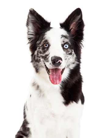 Close-up of a pretty Border Collie dog with spotted fur and blue eyes facing and looking forward with a happy expression and open mouth