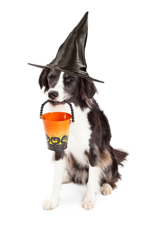 dog in costume: A cute young Border Collie dog wearing a black witch hat and holding an empty Halloween bucket in his mouth Stock Photo