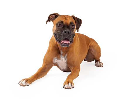 laying forward: A beautiful boxer dog laying and looking forward Stock Photo