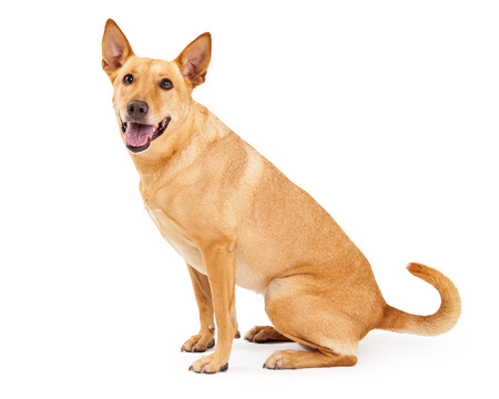carolina: A happy young Carolina Dog also known as an American Dingo sitting to the side with a happy expression and open mouth