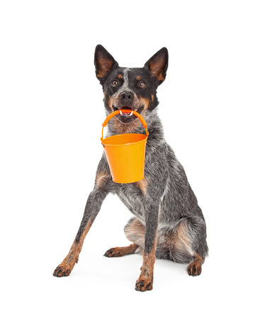 red heeler: An Australian Cattle Dog sitting and holding an orange empty bucket in his mouth